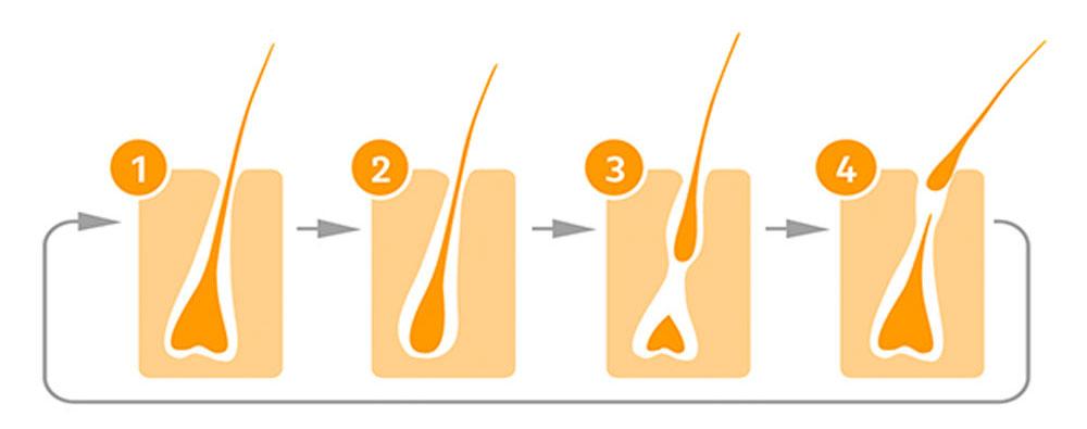 Grafik zum Haarzyklus in vier Phasen unterteilt